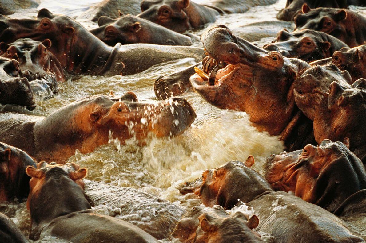 Hippos en colère