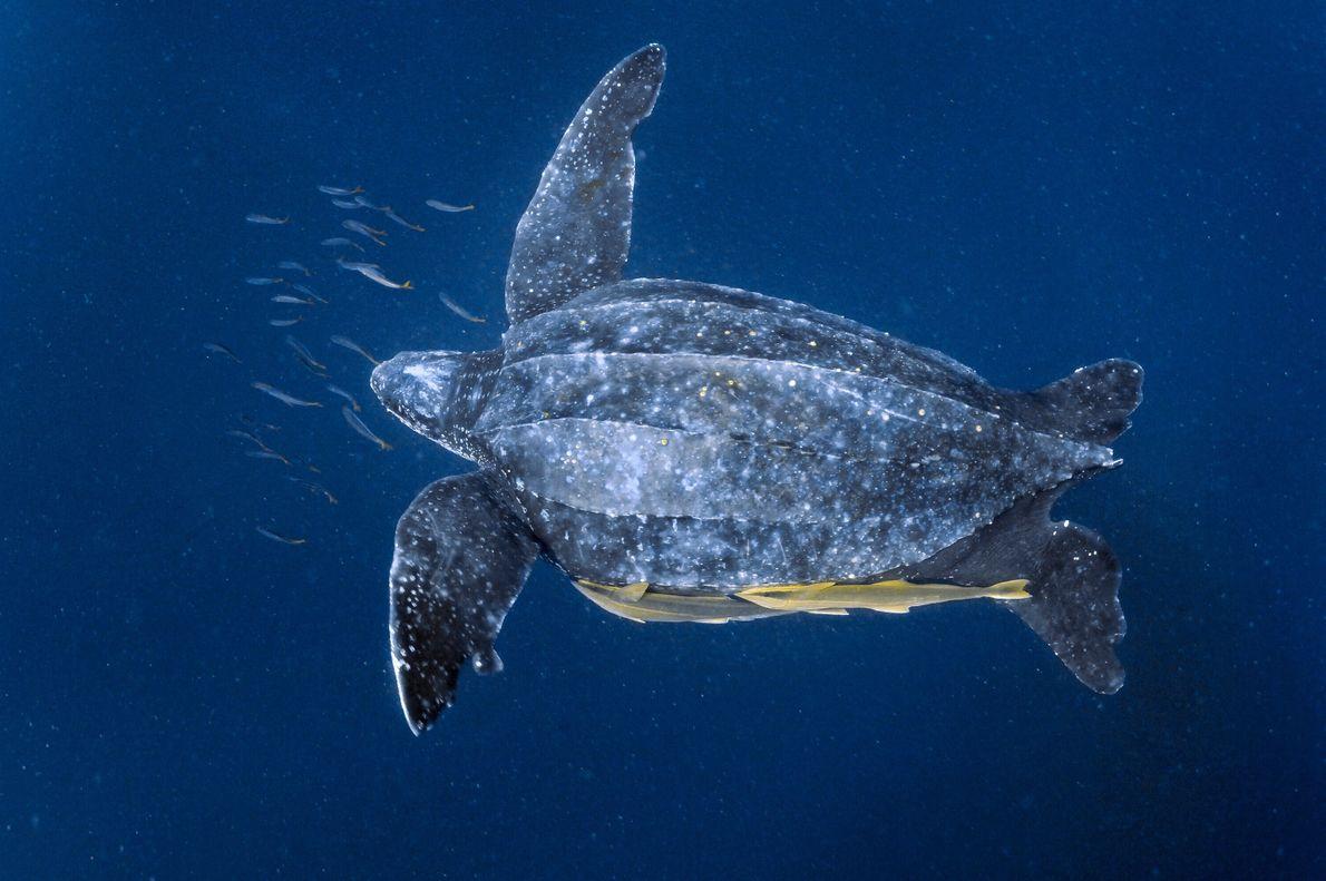 Des rémoras, ou poissons à ventouse, se sont accrochés à une tortue luth qui évolue dans ...