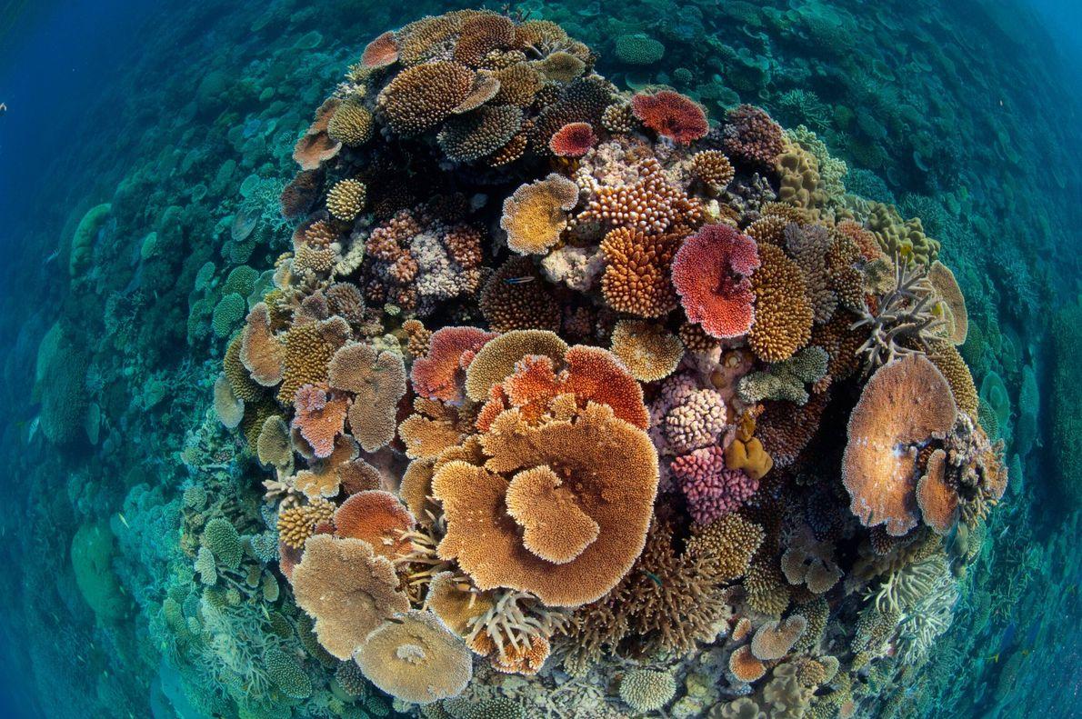 Coraux de récif