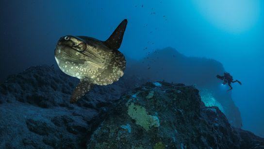 À de telles profondeurs, l'équipe a souvent observé de plus gros animaux. Le poisson-lune, ou môle (Mola ...