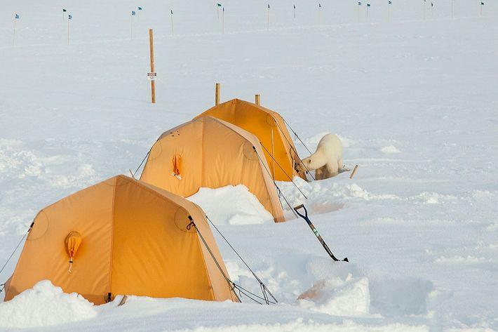 Alors qu'aucun ours polaire n'avait été observé à la station de recherche scientifique situé au sommet ...