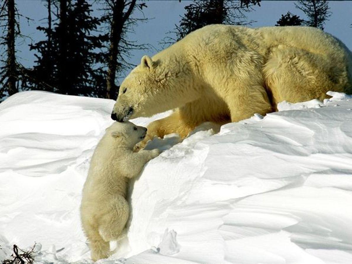Une mère et son petit ourson polaire