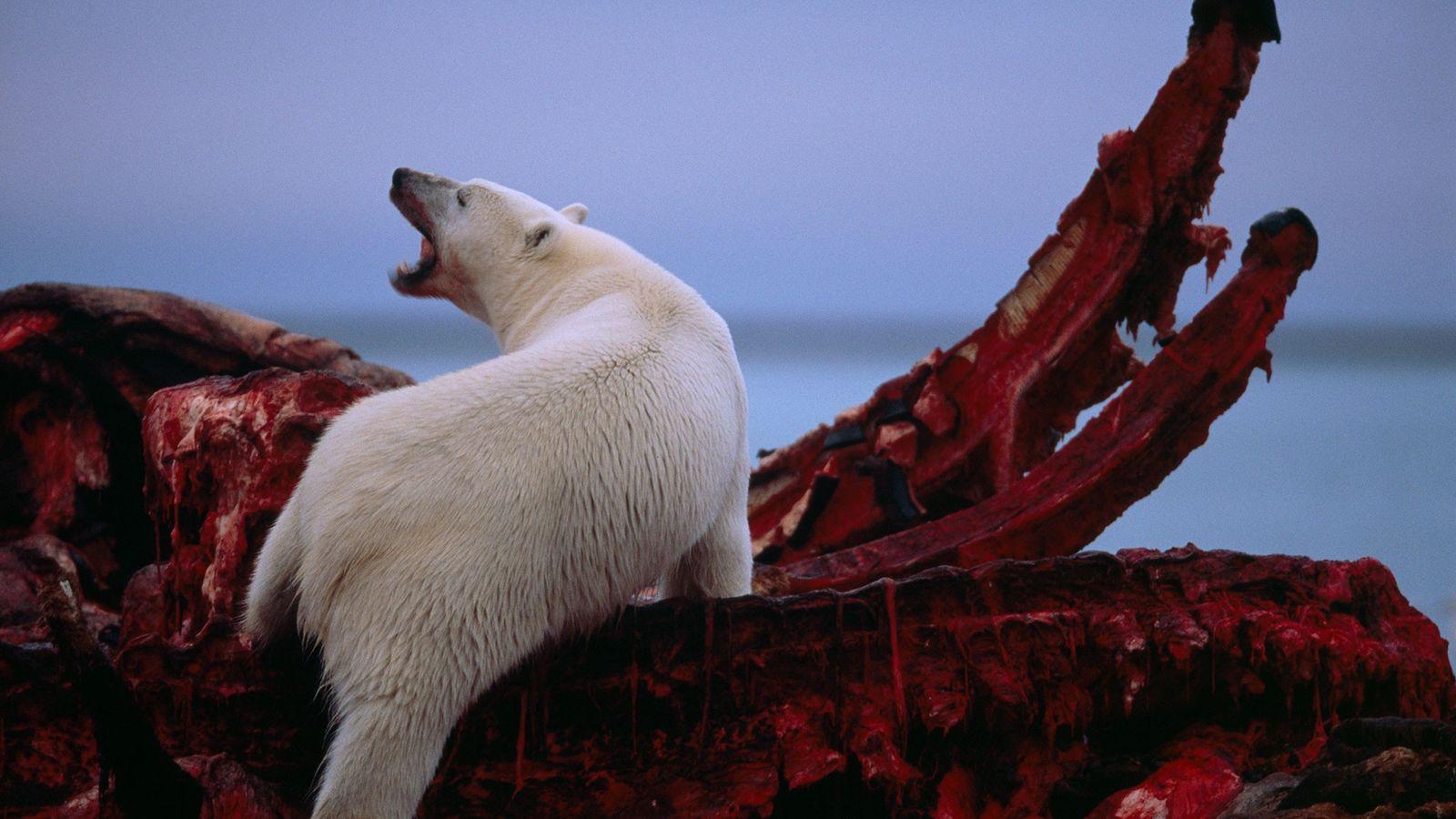 En Alaska, dans la région du Versant Nord, le long de la Mer de Beaufort, un ...