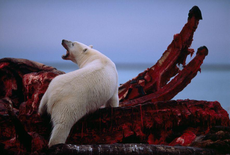 Les ours polaires seront-ils bientôt réduits à se nourrir de carcasses de baleines?