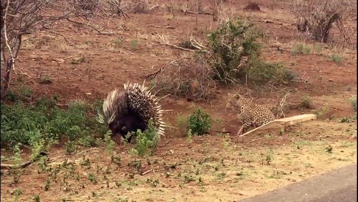 Le combat épineux d'un léopard avec un porc-épic