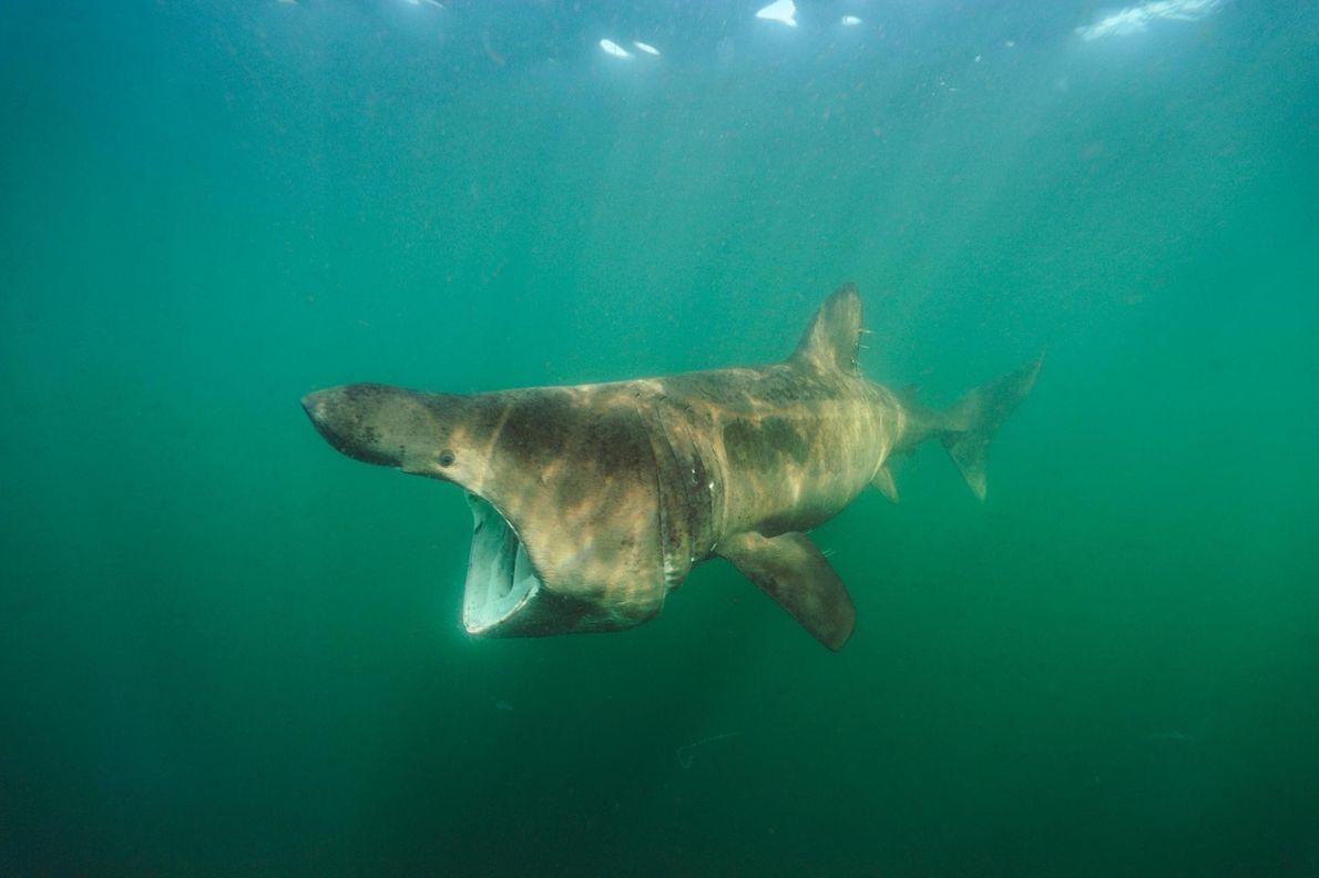 Requin pèlerin