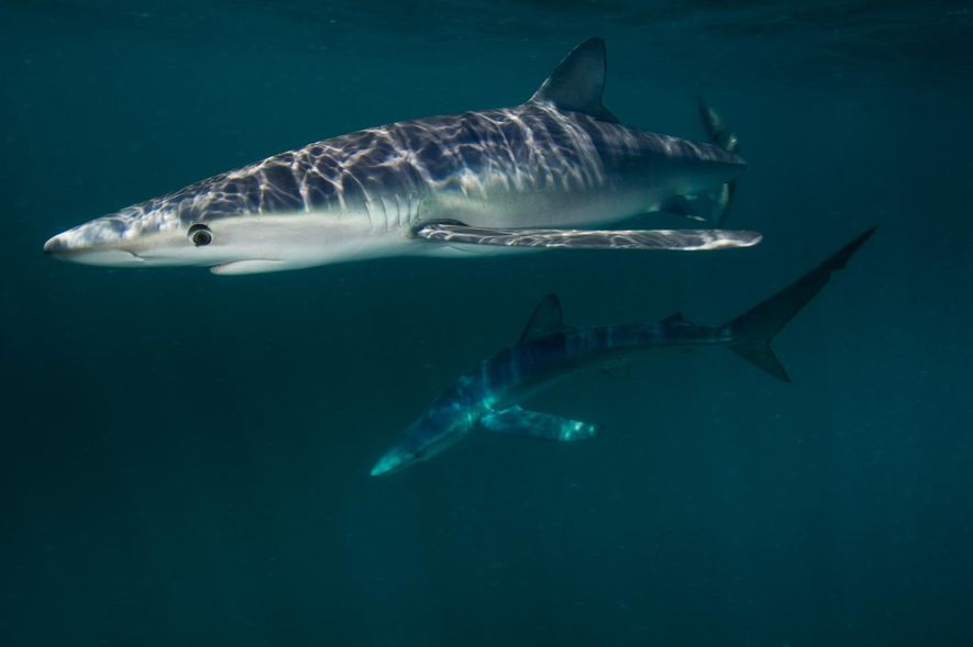 Requin bleuBlock Island, Rhode Island