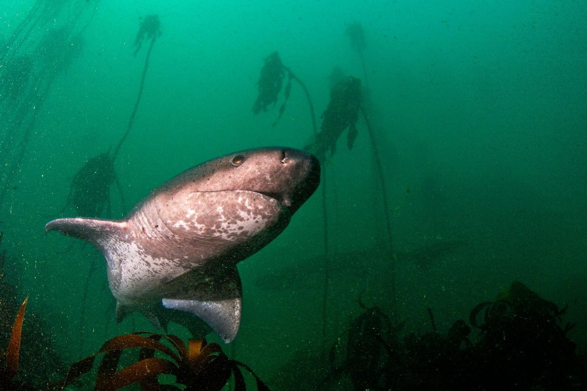 Requin Plat-Nez