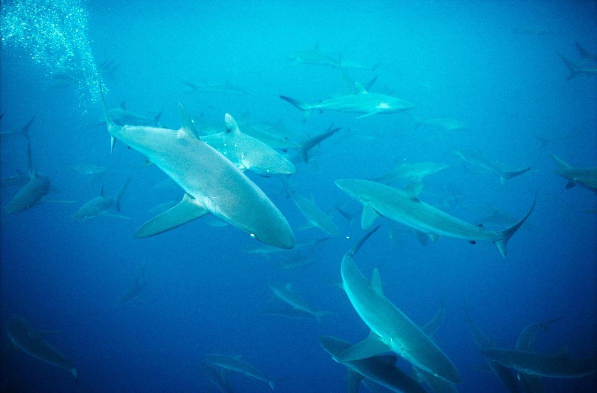 Requin cuivre