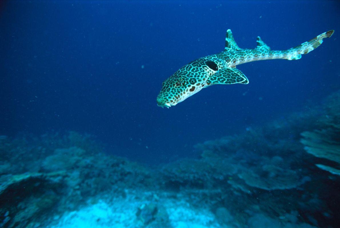 Requin-chabot ocellé