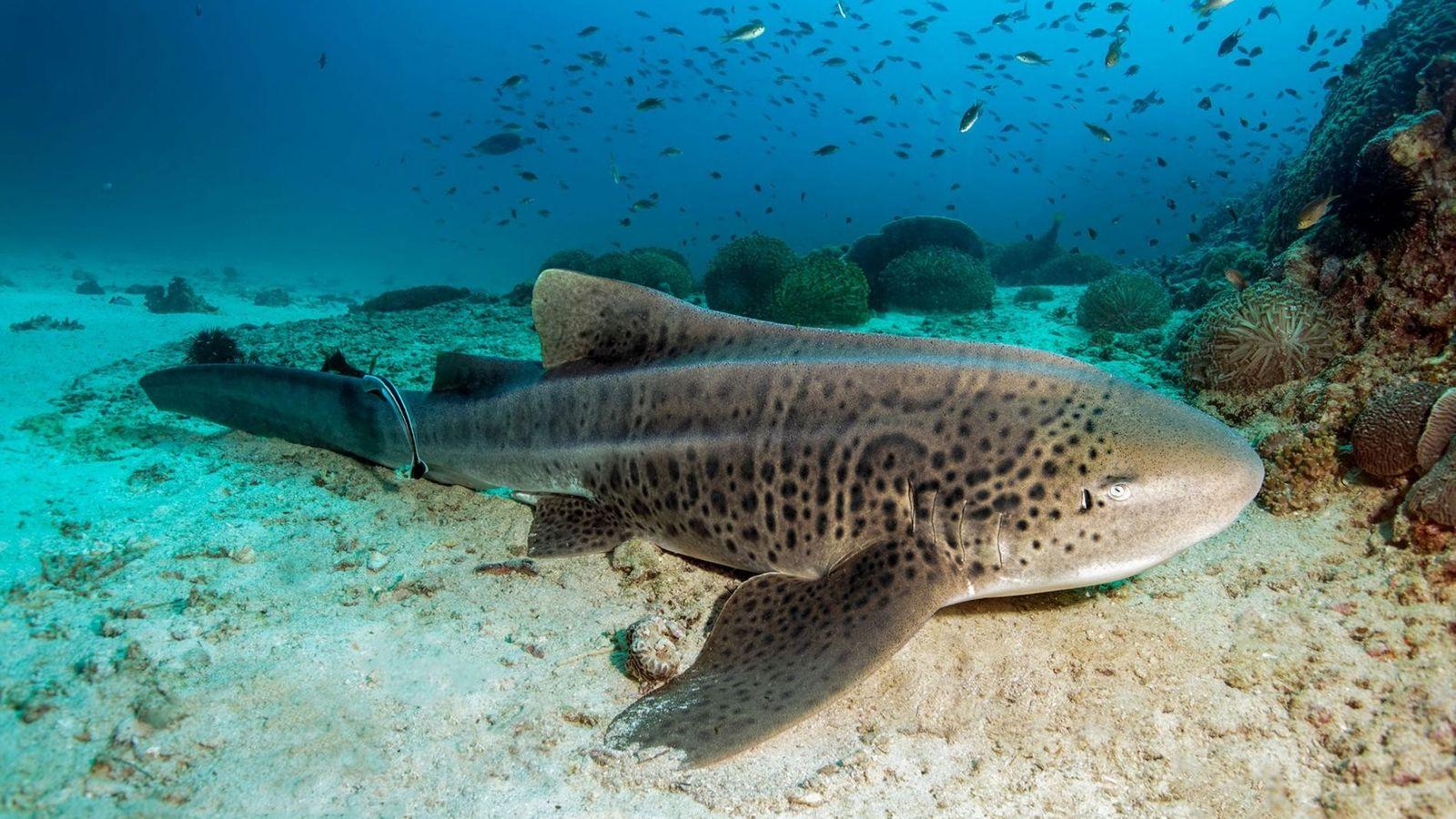 Requin-zébré