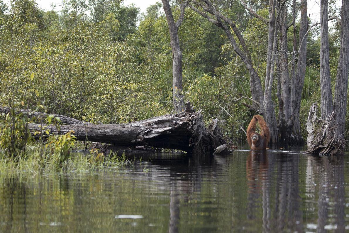 Les orangs-outans mâles, comme cet individu, ont des bras d'une envergure d'environ 2.1 mètres.