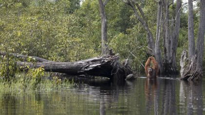 Le portrait de cet orang-outan montre une sombre réalité