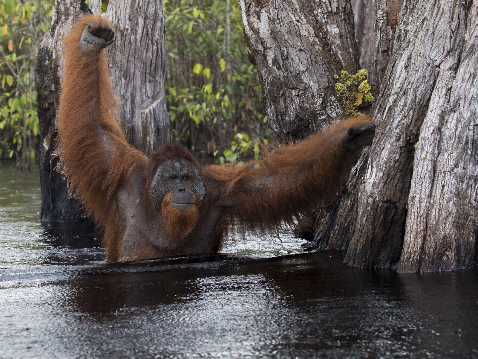 L'eau est noircie par les racines des arbres - une cachette parfaite pour des crocodiles.