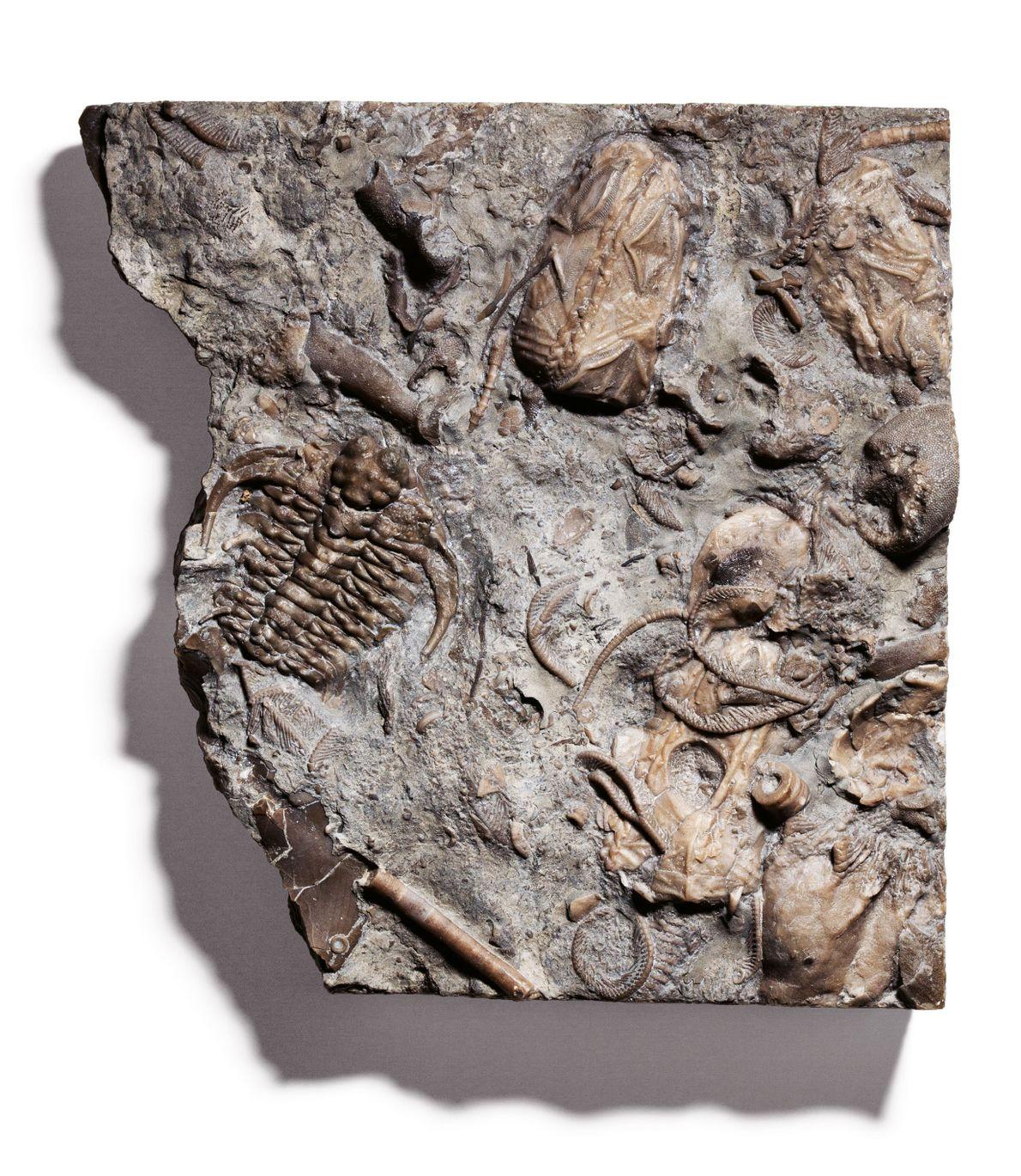 Au Cambrien, puis à l'Ordovicien, vers - 485 millions d'années, des arthropodes appelés trilobites ont constitué ...
