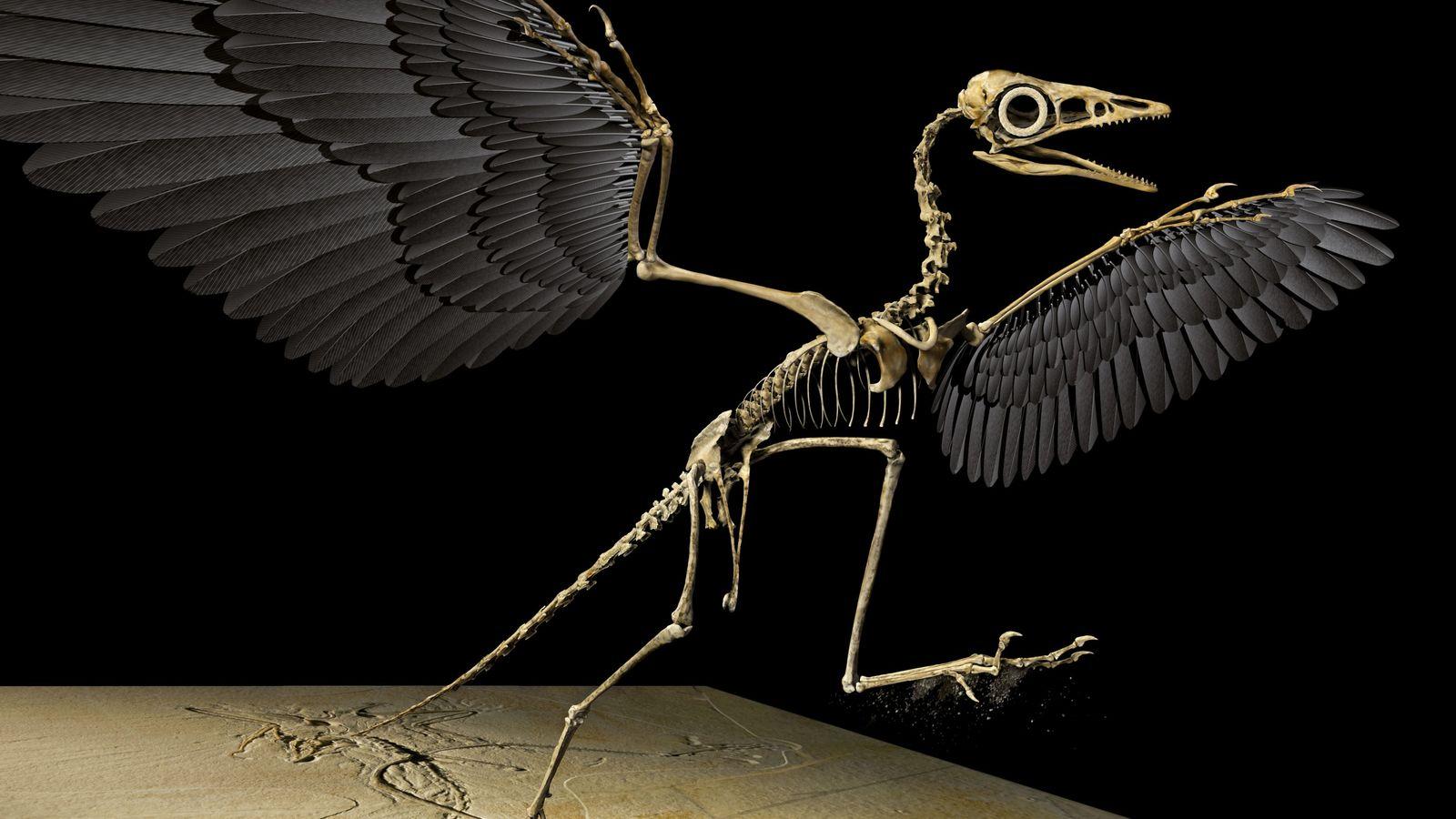 """Ce mdèle numérique en 3D du """" premier oiseau"""", Archaeopteryx, a été réalisé par Ryan Carney, ..."""