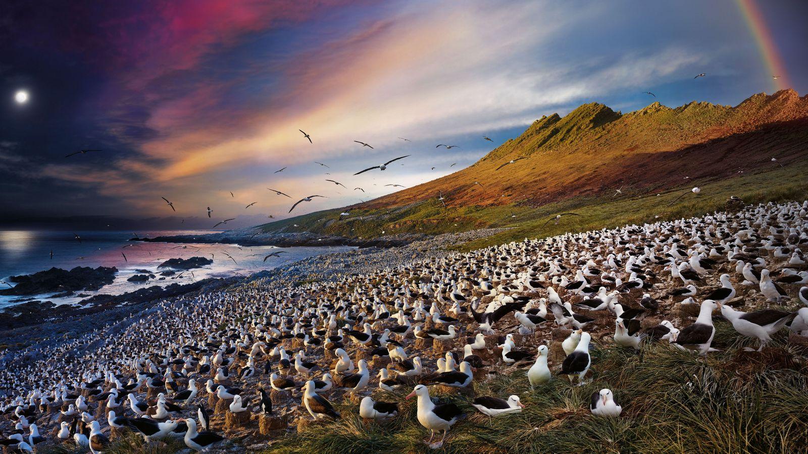 Les albatros s'installent près de la mer, dans l'île Steeple Jason de l'archipel des Malouines, partageant ...