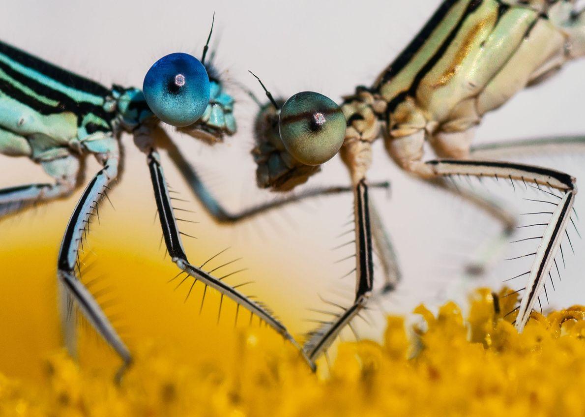 Souvent territoriales, les demoiselles mâles se disputent feuilles et fleurs. Après une observation approfondie de ces ...