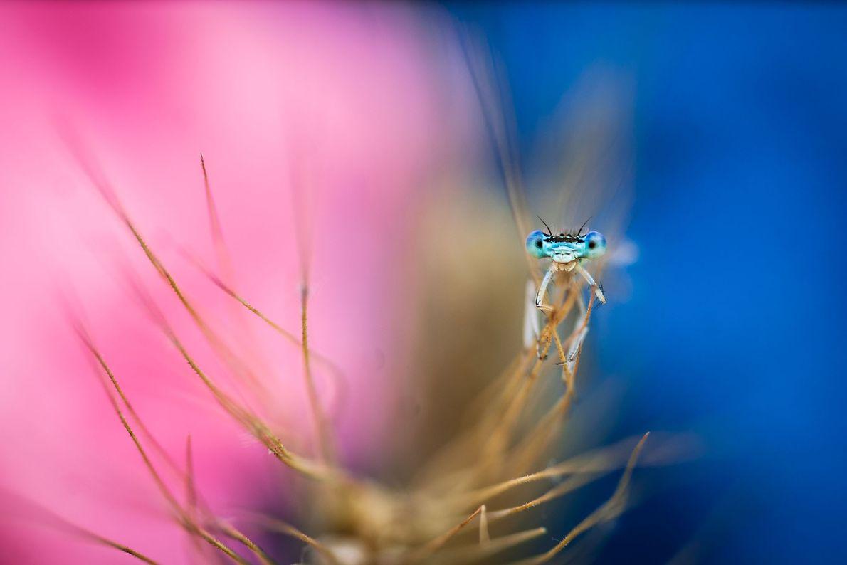Tiplea a photographié cette demoiselle et son fond coloré avec une lentille fixe et des bagues ...