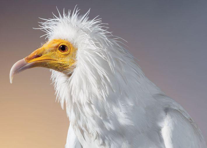 Le vautour percnoptère (Neophron percnopterus) vit dans le sud de l'Europe, l'Afrique, l'Inde et le Népal. ...