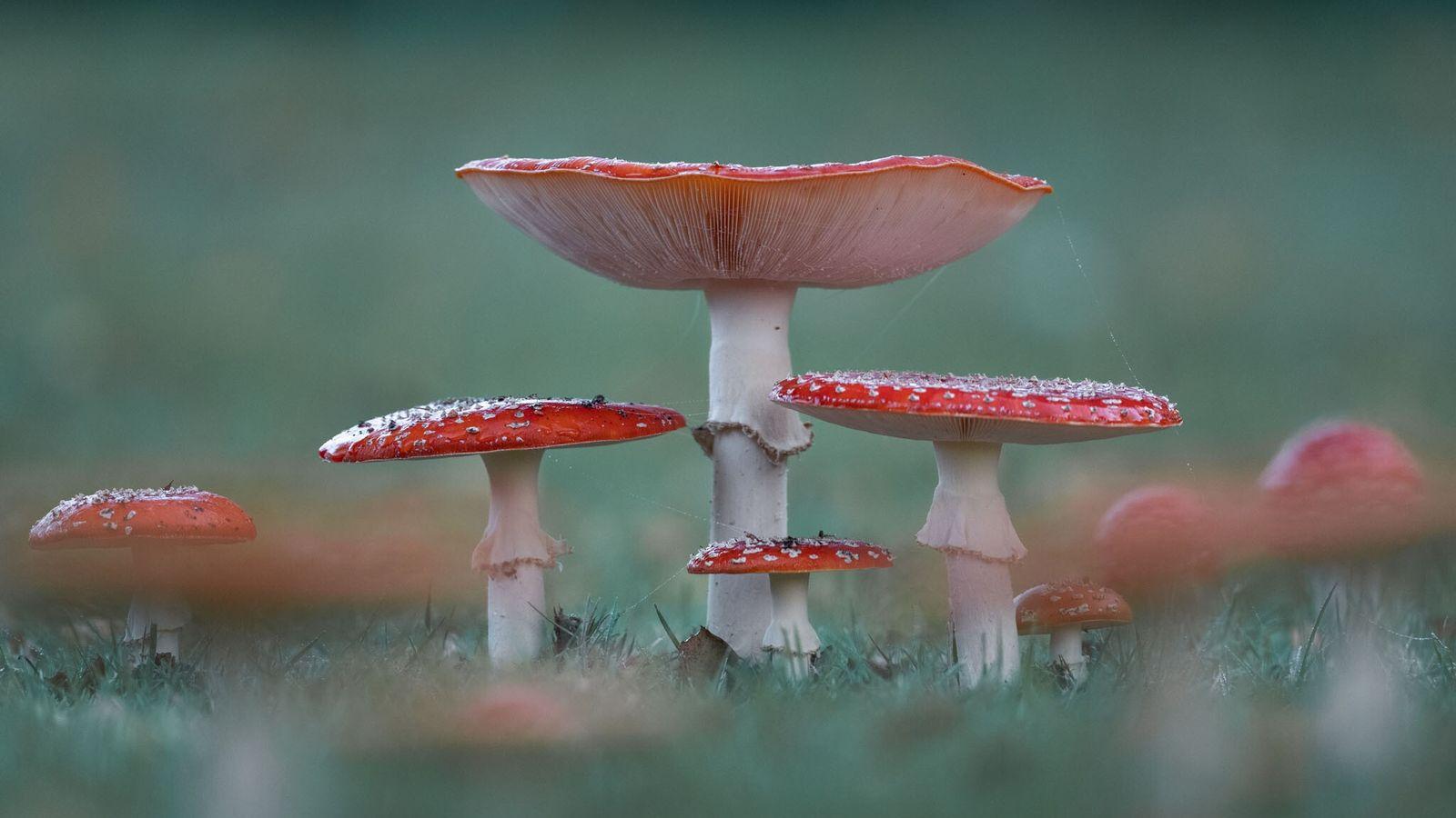 L'amanite tue-mouches (Amanita muscaria), l'une des variétés de champignons les plus connues, est la favorite du ...
