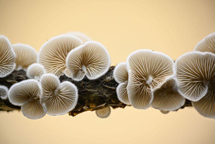 Pour se reproduire, le champignon Schizophylum commune doit faire toucher son mycélium fibreux avec celui d'un ...