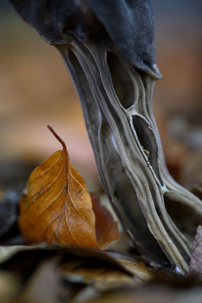 Ce champignon du genre Helvella est plus connu sous le nom d'helvelle lacuneuse ; à ce grossissement, ...