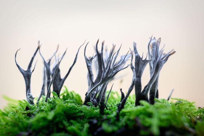 Mesurant six centimètres maximum, la xylaire du bois (Xylaria hypoxylon) est également connue sous le nom « ramure ...