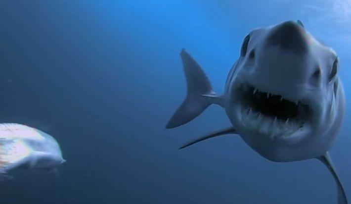 Un groupe de pseudorques à l'assaut d'un requin mako
