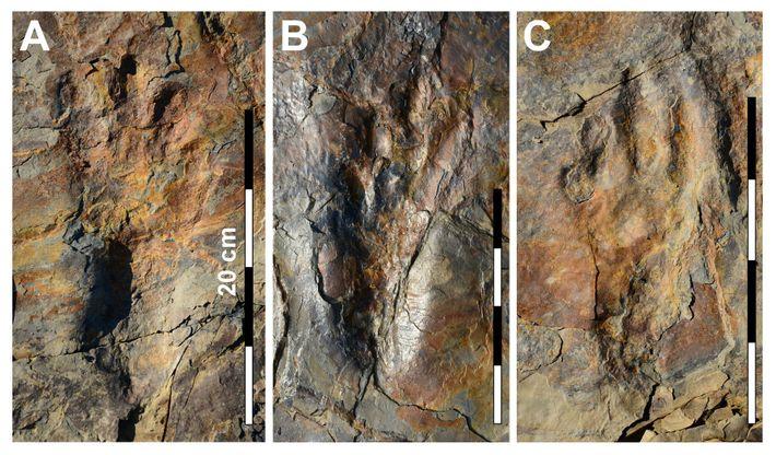 Photographies des empreintes remarquablement préservées du crocodilien Batrachopus grandis.