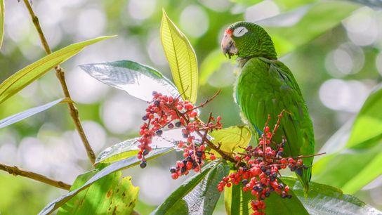 Cette amazone de Porto Rico récemment remis en liberté savoure les fruits d'une plante de Llewelynia. ...