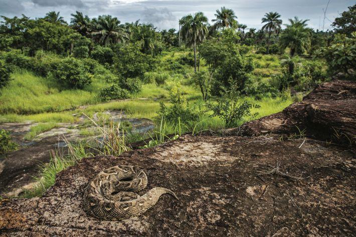 Une vipère heurtante, l'un des serpents les plus dangereux d'Afrique, se prélasse sur une roche chaude, ...