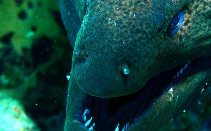 Quand une murène dévore un requin-corail