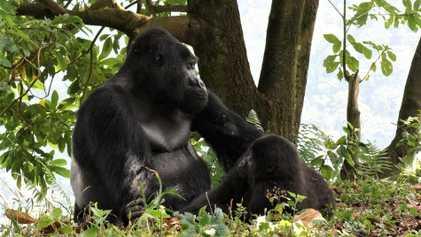 Rafiki, le gorille le plus connu d'Ouganda, a été tué par des braconniers