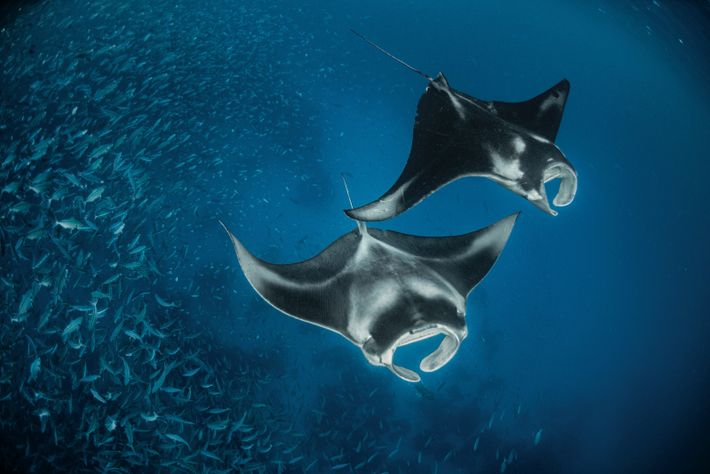 Deux raies mantas mangent le plancton que la marée montante apporte jusqu'à un récif des Palaos. ...