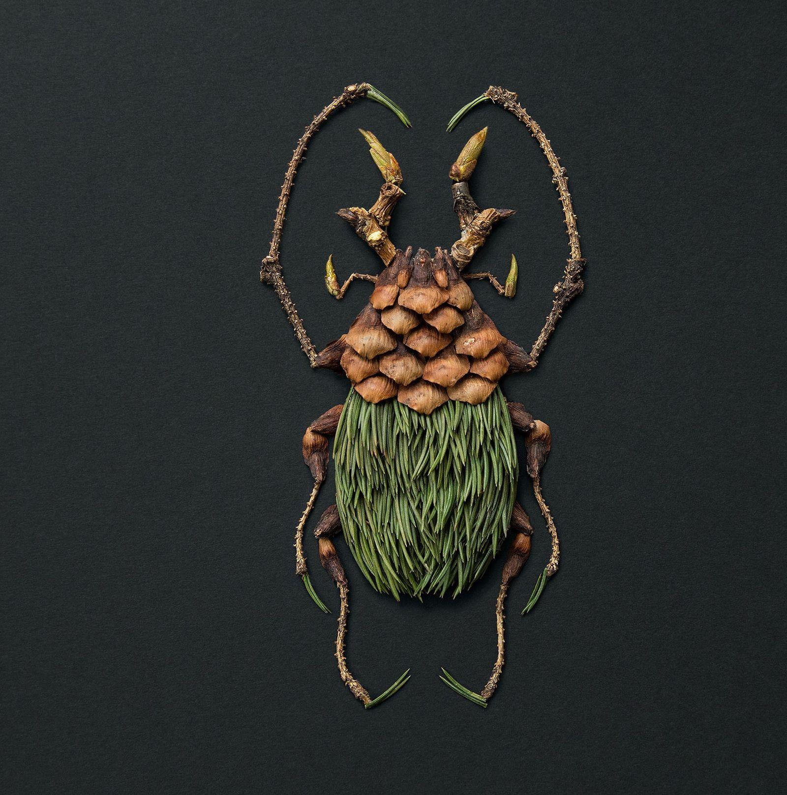 Avec une taille pouvant dépasser les 10 cm, le goliath est l'un des plus grands insectes ...