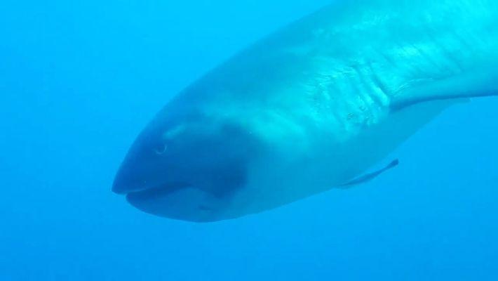 Rare : Un requin grande-gueule filmé au large de l'Indonésie