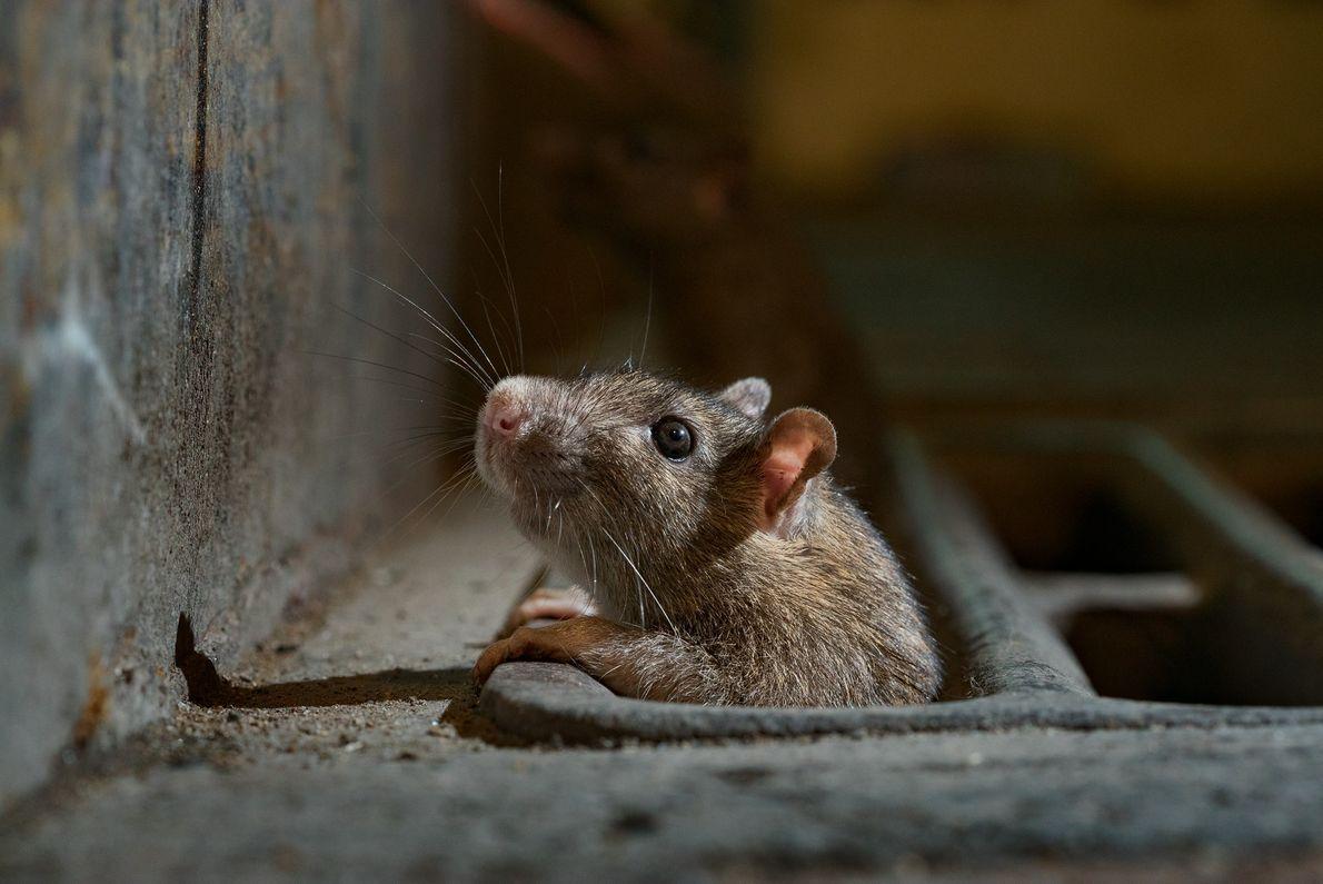 Rien à signaler ? Un rat de la ville de New York jette un œil averti ...