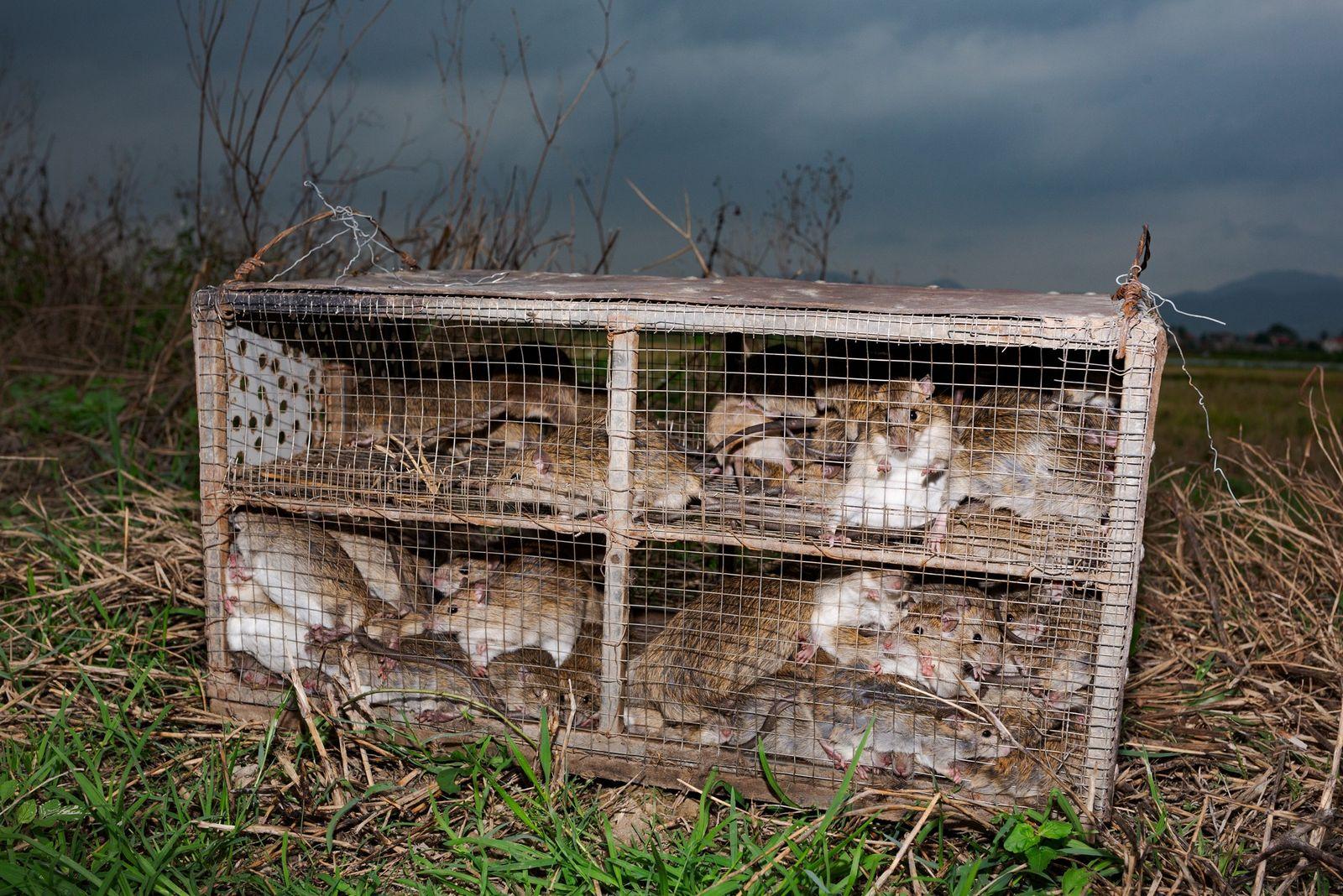 Les rats capturés dans la province de Quang Ninh sont mis en cage avant d'être emmenés ...