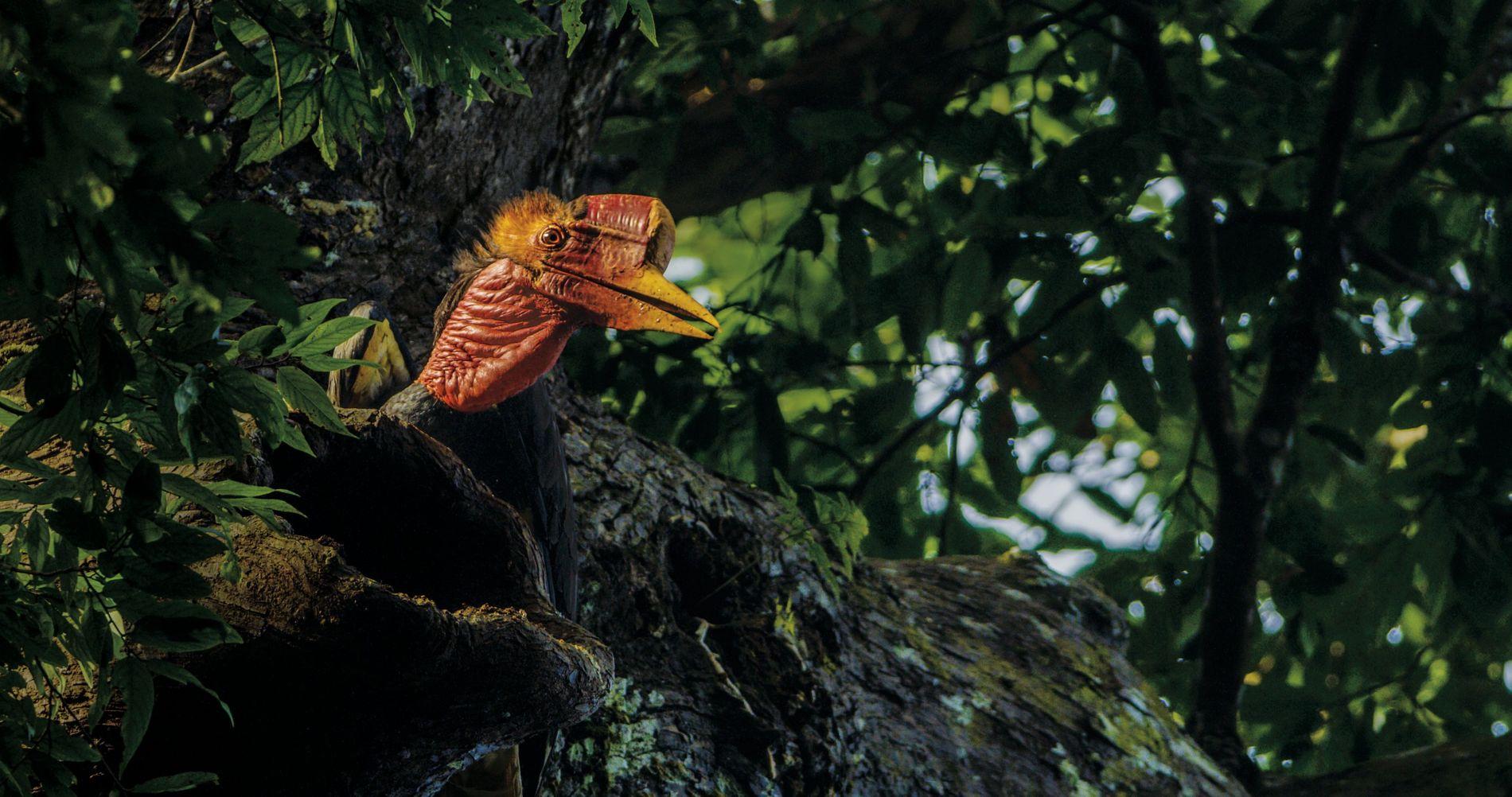 Ce mâle va nourrir sa famille dans le nid avec des fruits de la forêt. Le ...