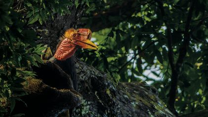 Le calao à casque rond, un étrange oiseau menacé d'extinction en Asie du Sud-Est