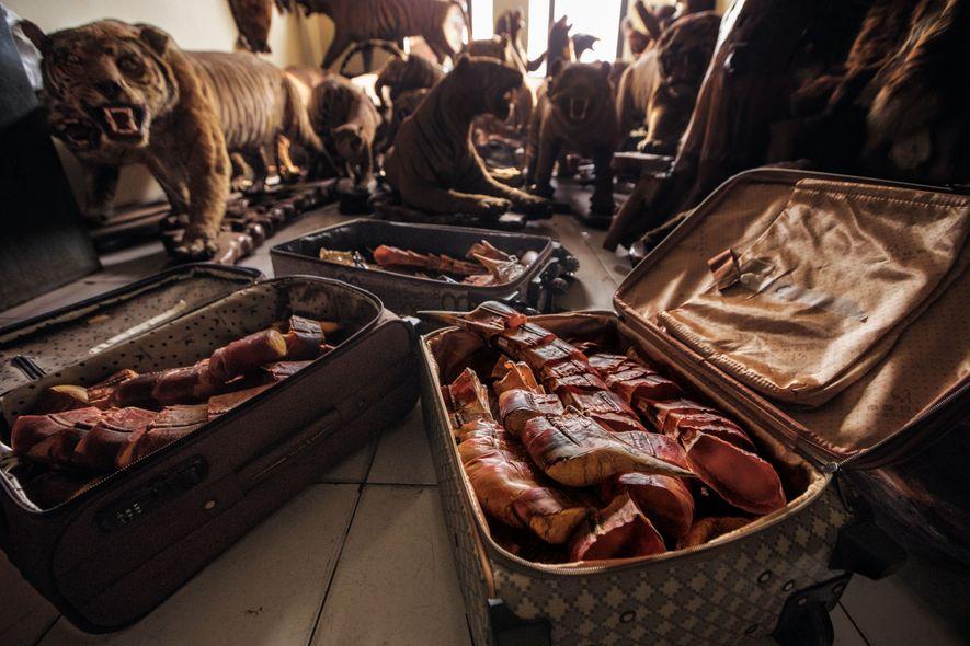 Casques de calao, tigres naturalisés et autres objets de trafic saisis par les autorités remplissent une ...