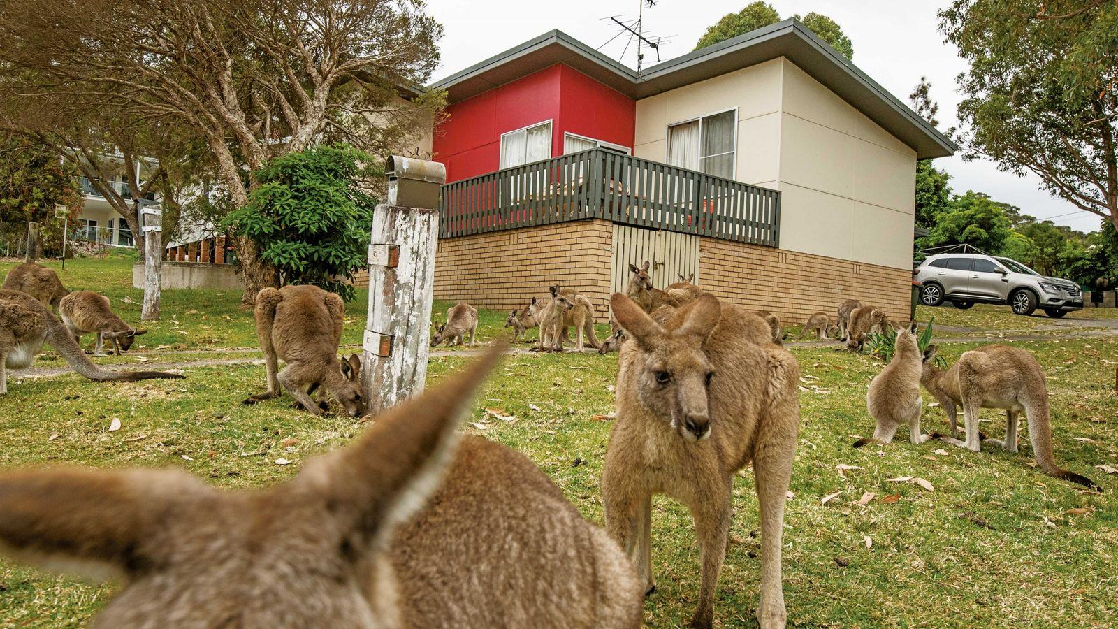 Des kangourous géants broutent l'herbe d'une pelouse, à North Durras (Nouvelle-Galles du Sud). Avec la ...