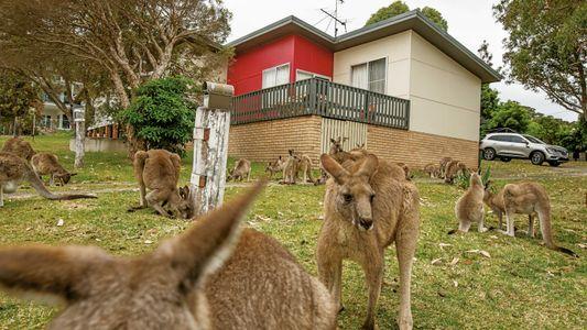 Kangourous : une prolifération inquiétante