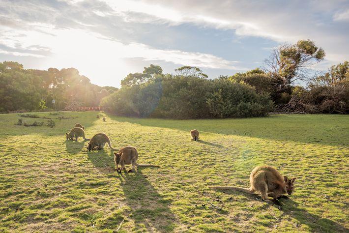 Les wallabys, comme ceux ci-dessus au parc national Narawntapu, peuvent être exposés à l'herbicide atrazine à ...