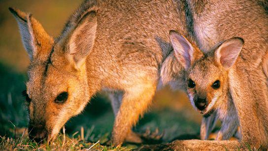 À la naissance, les wallabys ne sont pas plus grands qu'un haricot et finissent leur croissance ...