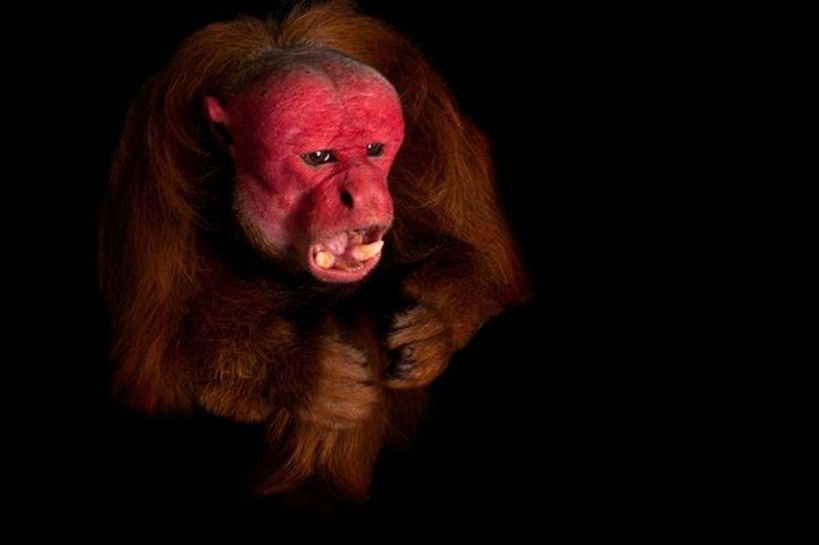 Le Ouakari chauve à tête rouge  Statut : vulnérable ...