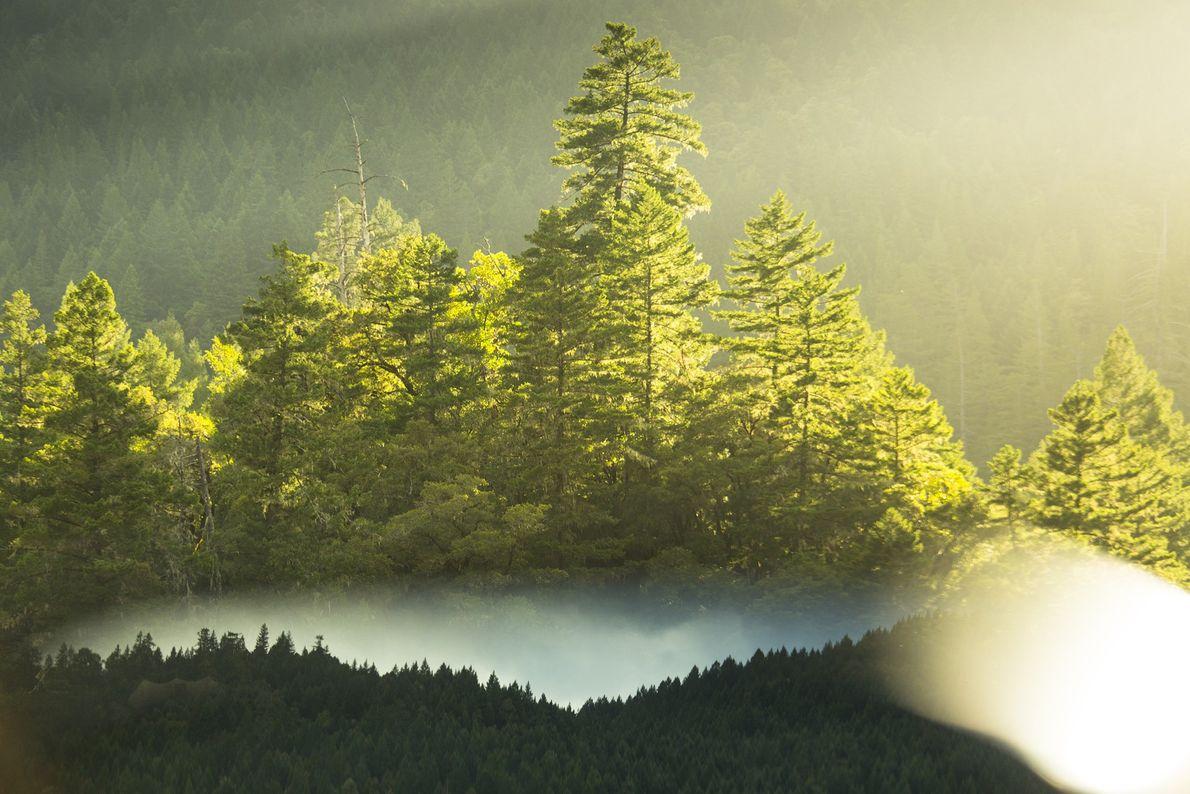 Le soleil couchant baigne le parc d'État de Humboldt Redwoods d'une lumière dorée. La forêt de ...