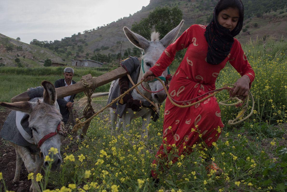 Un agriculteur kurde et sa nièce préparent un champ pour les semis du printemps dans les ...