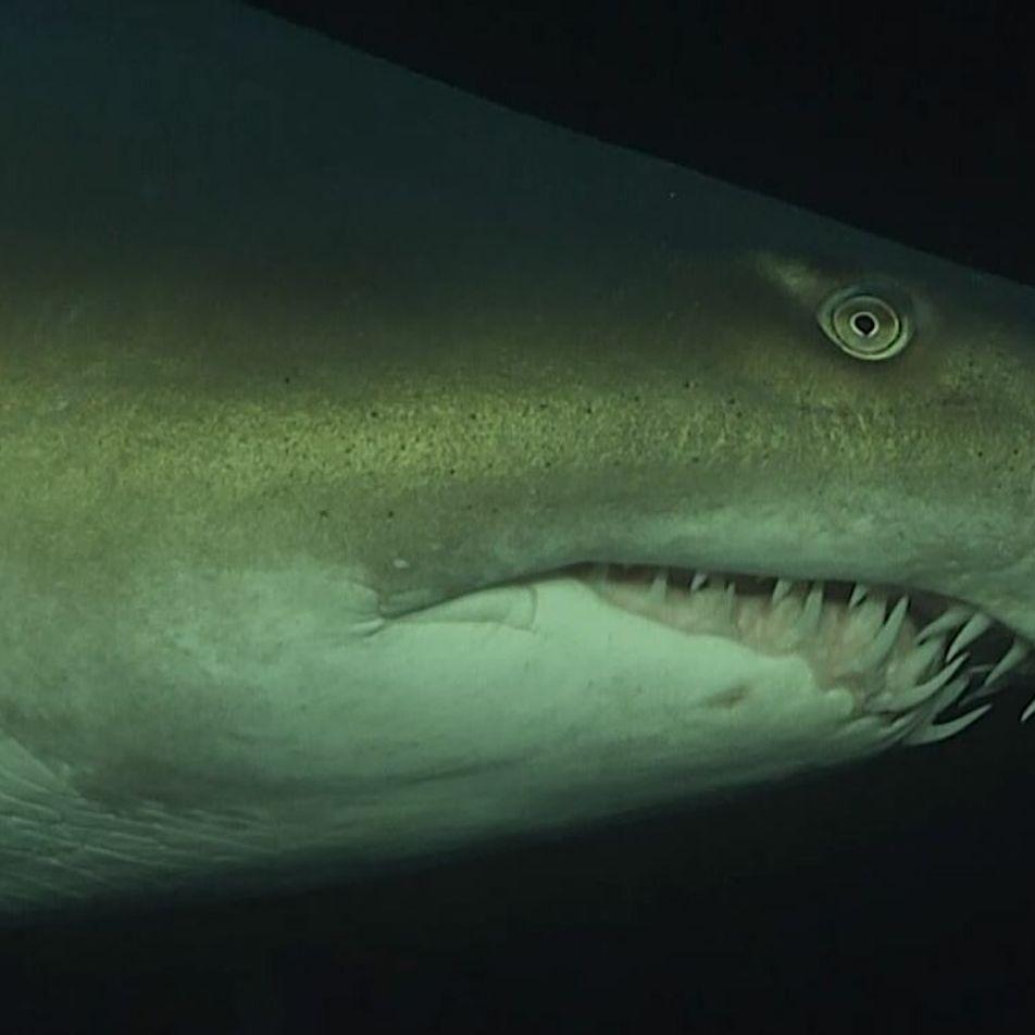 Le règne du requin-taureau